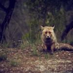 Red_Fox_Stock_Photo